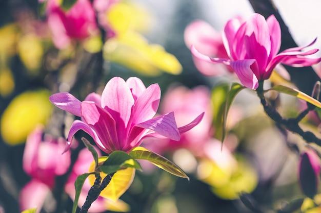 Fleur de magnolia dans le parc un jour d'été