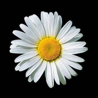 Fleur de marguerite blanche en fleurs isolée sur fond noir