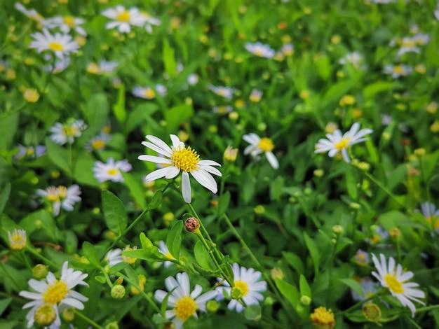 Fleur de marguerite blanche gros plan dans le champ