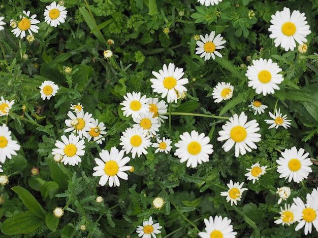 Fleur de marguerite blanche