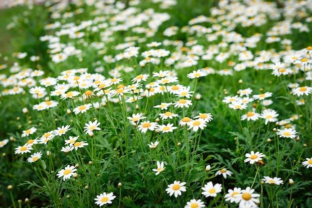Fleur de marguerite, fleur de printemps, naturel