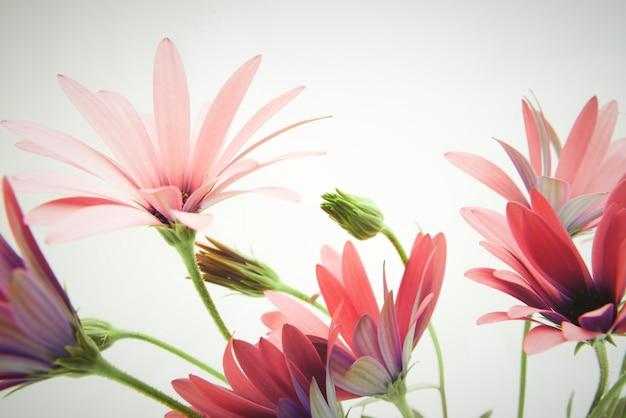 Fleur de marguerite fraîche sur fond blanc.