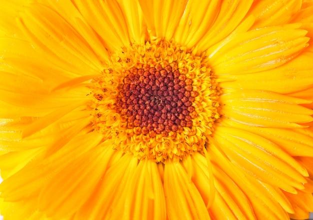 Fleur de marguerite jaune gros plan