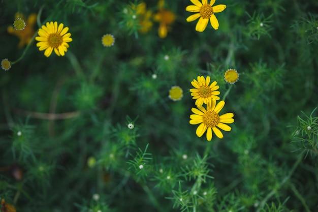 Fleur de marguerite jaune sur la vue de dessus