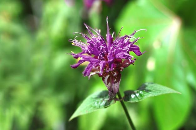 Fleur de monarda violette