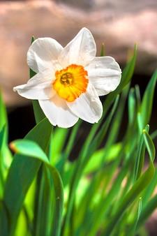 Fleur de narcisse au printemps