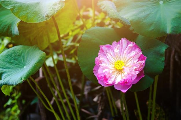 Fleur de nénuphar dans l'étang de la fontaine magnifique dans le fond de nature verdoyante