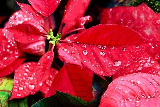 Fleur de noël ou poinsettia avec gouttelettes après la pluie