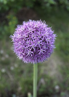 Fleur oignon bleu
