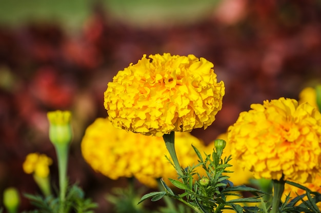 Fleur d'or jaune, souci