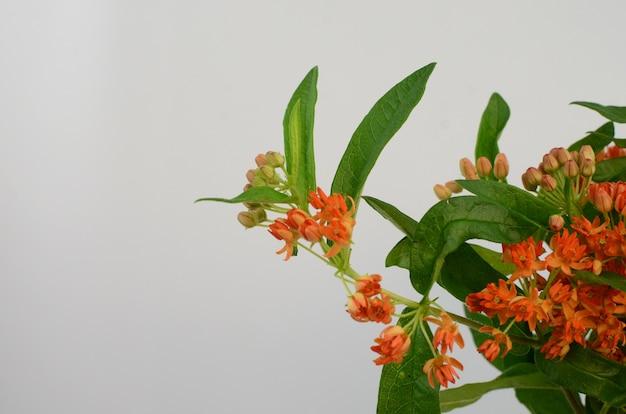 Fleur d'oranger asclepias pour le fond