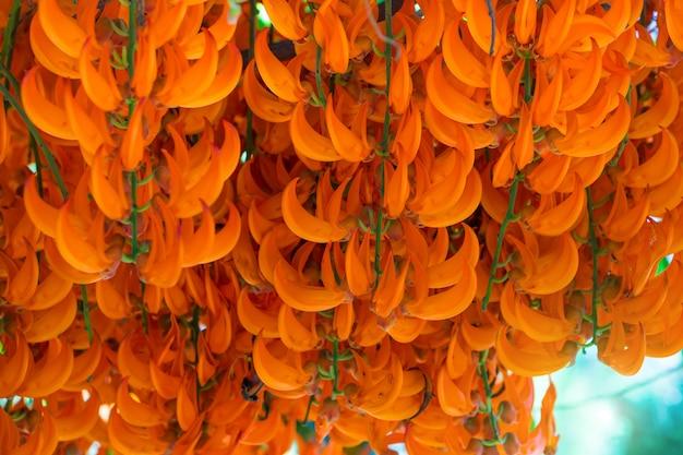 Fleur d'oranger du nom red jade vine ou de la nouvelle-guinée creeper ou des fleurs