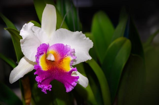 Fleur d'orchidée cattleya blanche hybride dans le jardin