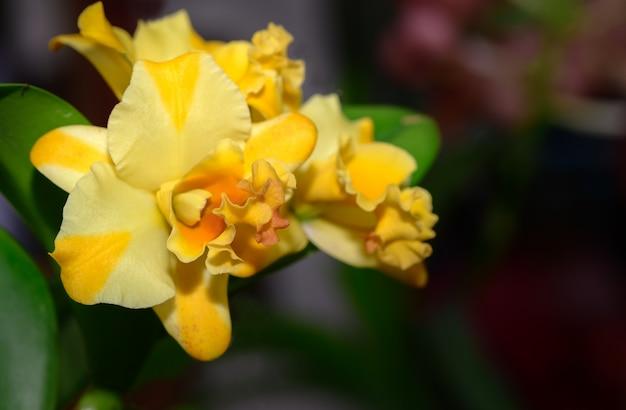 Fleur d'orchidée cattleya jaune hybride dans le jardin