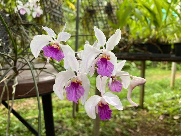 Fleur d'orchidée holcoglossum kimballianum