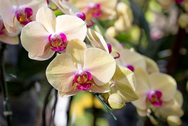 Fleur d'orchidée phalaenopsis jaune