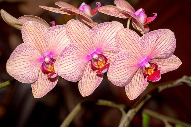 Fleur d'orchidée phalaenopsis, orchidées est la reine des fleurs en thaïlande