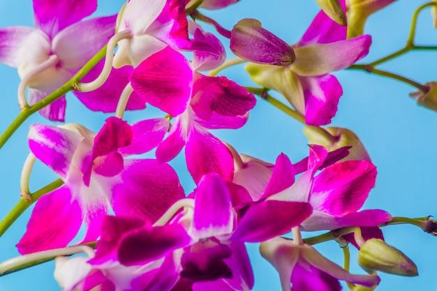 Fleur d'orchidée pourpre sur fond bleu coloré, studio abattu.