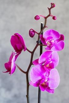 Fleur d'orchidée pourpre phalaenopsis, phalaenopsis ou falah sur fond gris