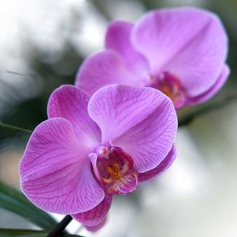 Fleur d'orchidée pourpre phalaenopsis phalaenopsis ou falah purple phalaenopsis fleurs sur la droite connue sous le nom d'orchidées papillon