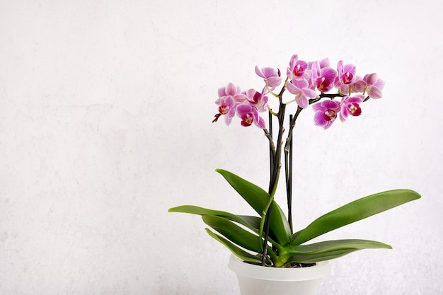 Fleur d'orchidée rose sur fond texturé blanc, espace pour un texte