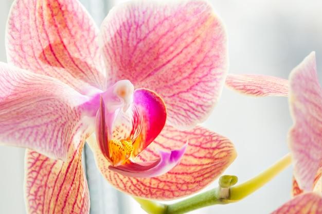Fleur d'orchidée rose. image macro, faible profondeur de champ