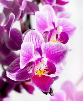 Fleur d'orchidée rose macro. fond avec des fleurs violettes.