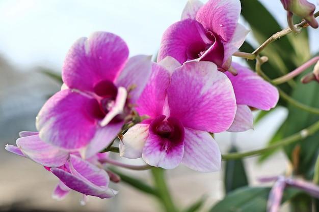 Fleur d'orchidée rose en tropical