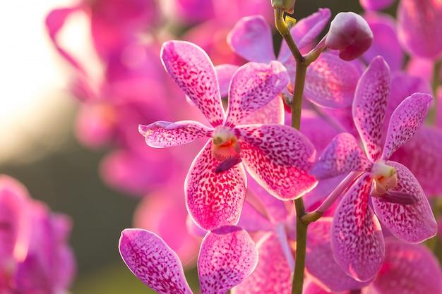 Fleur d'orchidée rose