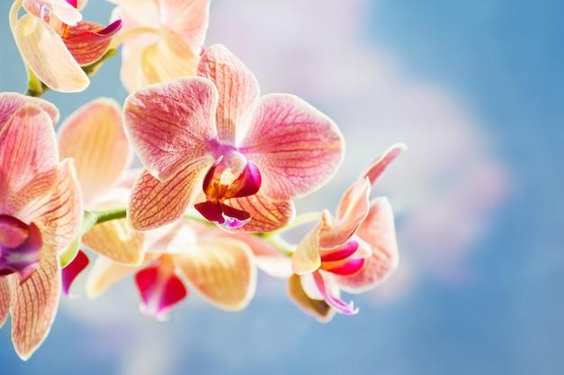 Fleur d'orchidée rouge sur fond bleu. belle nature printanière