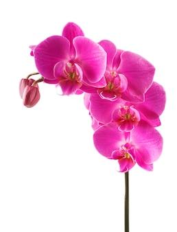 Fleur d'orchidée striée rose