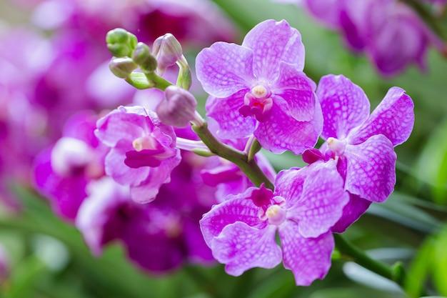 Fleur d'orchidée vanda dans le jardin.