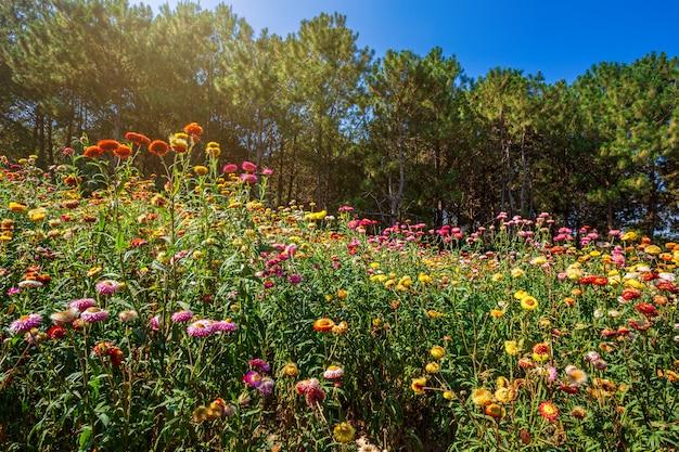 Fleur de paille de beau coloré sur la nature de l'herbe verte dans le jardin avec la falaise des montagnes