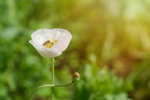 Fleur de pavot avec une abeille pollinisatrice dans le jardin.