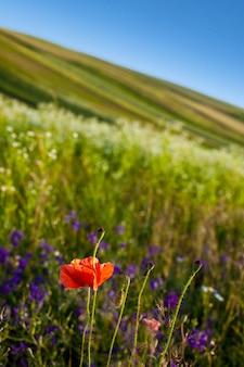 Fleur de pavot sur un champ
