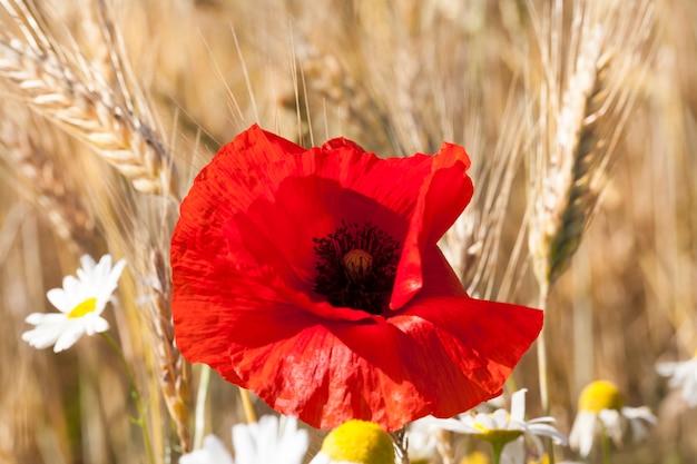 Une fleur de pavot coloré et lumineux poussant contre un champ de blé mature en été