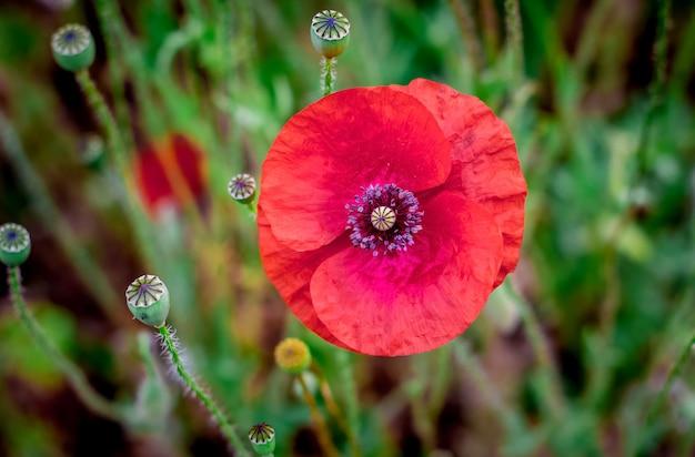 Fleur de pavot dans un champ sur fond sombre. heure d'été