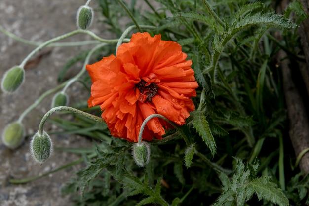 La fleur de pavot a fleuri près d'une clôture tressée
