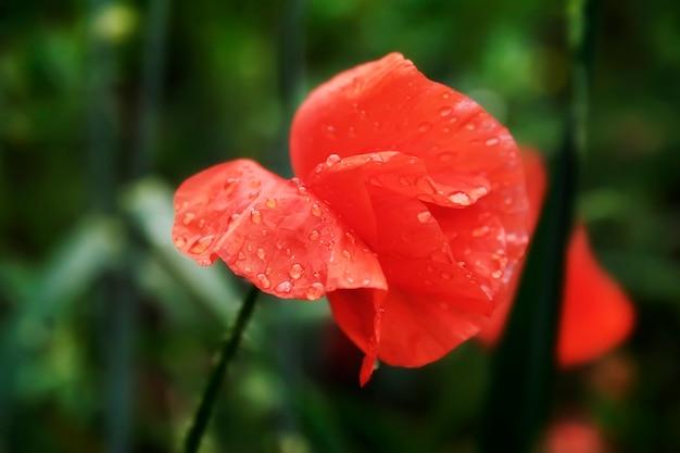 Fleur de pavot en fleurs sur les fleurs de coquelicots de fond. la nature