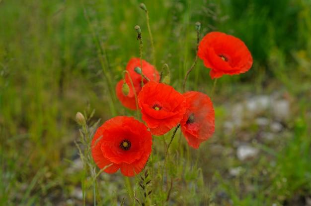 Fleur de pavot en fleurs sur fond de fleurs de coquelicots. la nature.