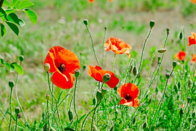 Fleur pavot fond de floraison