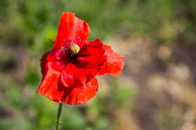 Fleur de pavot rouge sur le pré