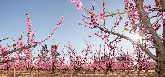 Fleur de pêcher au crépuscule en plantation cultivée en espagne prunus persica rosaceae