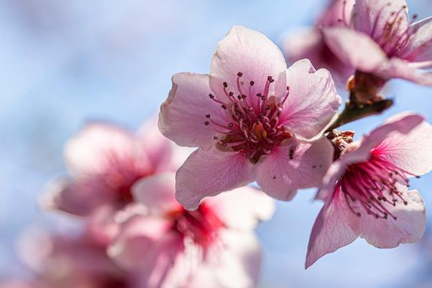 Fleur de pêcher au printemps, image prise avec un objectif macro