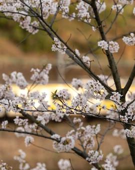 Fleur de pêcher japonais