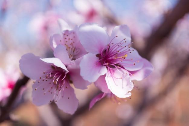 Fleur de pêcher rose avec fond flou