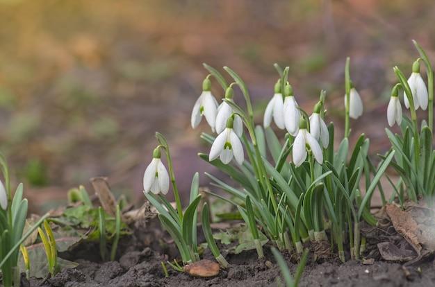 Fleur perce-neige dans la nature