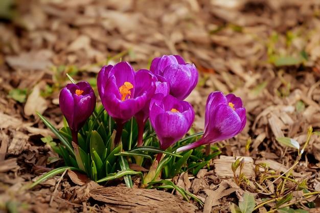 Fleur de perce-neige de printemps, floral, nature, printemps, perce-neige, vert