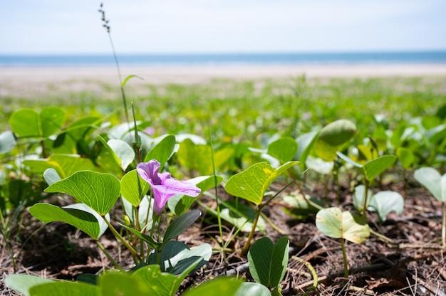 Fleur de pétale pourpre avec des feuilles vertes poussant sur la plage en mer tropicale
