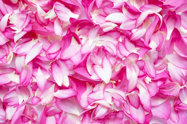 Fleur de pétales de lotus rose pour le fond.